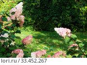 Hydrangea Paniculata Vanille Fraise in sunny garden. Стоковое фото, фотограф Короленко Елена / Фотобанк Лори