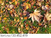 Купить «Fallen maple leaves on the grass.», фото № 33452419, снято 19 ноября 2019 г. (c) Елена Блохина / Фотобанк Лори