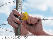 Купить «Close Up of Dirty Hands Holding Delicate Yellow Flowers and Grasping Barbed Wire Fence in Concept Image», фото № 33454751, снято 31 марта 2020 г. (c) age Fotostock / Фотобанк Лори
