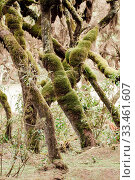 Купить «Harenna Forest mystical landscape, Bale Mountains. last remaining natural forests in the country. Oromia Region, Ethiopia wilderness», фото № 33461607, снято 2 апреля 2020 г. (c) easy Fotostock / Фотобанк Лори