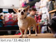 Chihuahua dog sitting in petshop. Стоковое фото, фотограф Яков Филимонов / Фотобанк Лори