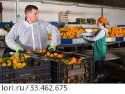 Warehouse workers sorting ripe mandarins. Стоковое фото, фотограф Яков Филимонов / Фотобанк Лори