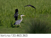 Купить «Grey heron (Ardea cinerea) with Lapwings (Vanellus vanellus) mobbing, Norfolk, England, UK, May.», фото № 33463363, снято 4 апреля 2020 г. (c) Nature Picture Library / Фотобанк Лори