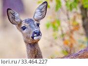 European Roe Deer, Capreolus capreolus, Corzo, Castilla y León, Spain, Europe. Стоковое фото, фотограф Alberto Carrera / age Fotostock / Фотобанк Лори