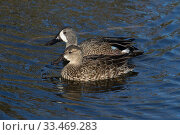 Купить «Blue-winged teal(Anas discors) male and female Sweetwatee Refuge, Bainesville, Florida, USA, December.», фото № 33469283, снято 27 мая 2020 г. (c) Nature Picture Library / Фотобанк Лори
