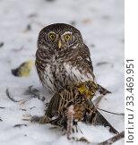 Купить «Pygmy owl (Glaucidium passerinum), with Yellowhammer (Emberiza citrinella) prey, Finland, January.», фото № 33469951, снято 3 апреля 2020 г. (c) Nature Picture Library / Фотобанк Лори