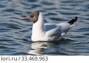 Купить «Black-headed gull (Larus ridibundus), adult, Finland, May.», фото № 33469963, снято 4 июня 2020 г. (c) Nature Picture Library / Фотобанк Лори