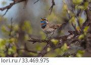 Купить «Bluethroat (Luscinia svecica) male singing, Finland, June.», фото № 33469975, снято 4 апреля 2020 г. (c) Nature Picture Library / Фотобанк Лори
