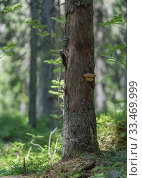 Купить «Three-toed woodpecker (Picoides tridactylus), male next to nest hole in tree in forest, Finland, June.», фото № 33469999, снято 4 июня 2020 г. (c) Nature Picture Library / Фотобанк Лори