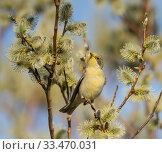 Купить «Lesser whitethroat (Sylvia curruca) covered in yellow pollen, Finland, May.», фото № 33470031, снято 15 июля 2020 г. (c) Nature Picture Library / Фотобанк Лори