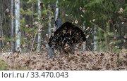 Купить «Western capercaillie (Tetrao urogallus), male displaying at lek, Finland, April.», фото № 33470043, снято 13 июля 2020 г. (c) Nature Picture Library / Фотобанк Лори