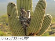 Купить «Great horned owl (Bubo virgininus) in nest with chicks in Saguaro cactus (Carnegiea gigantea) Sonoran desert, Arizona, USA.», фото № 33470091, снято 4 апреля 2020 г. (c) Nature Picture Library / Фотобанк Лори