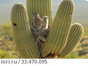 Купить «Great horned owl (Bubo virgininus) in nest with chicks in Saguaro cactus (Carnegiea gigantea) Sonoran desert, Arizona, USA.», фото № 33470095, снято 4 апреля 2020 г. (c) Nature Picture Library / Фотобанк Лори