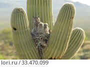 Купить «Great horned owl (Bubo virgininus) in nest with chicks in Saguaro cactus (Carnegiea gigantea) Sonoran desert, Arizona, USA.», фото № 33470099, снято 4 апреля 2020 г. (c) Nature Picture Library / Фотобанк Лори