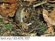 Купить «Wood mouse (Apodemus sylvaticus) grooming. Dorset, England, UK, May.», фото № 33470107, снято 9 апреля 2020 г. (c) Nature Picture Library / Фотобанк Лори