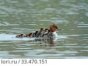 Купить «Common merganser (Mergus merganser) female with young on back and following her, Germany, April», фото № 33470151, снято 6 августа 2020 г. (c) Nature Picture Library / Фотобанк Лори