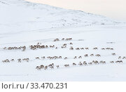 Herd of wild reindeer (Rangifer tarandus) in snow-covered winter landscape. Forollhogna National Park, Norway. January. Стоковое фото, фотограф Orsolya Haarberg / Nature Picture Library / Фотобанк Лори