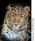 Amur leopard (Panthera pardus orientalis) portrait, captive. Стоковое фото, фотограф Ernie  Janes / Nature Picture Library / Фотобанк Лори