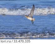 Купить «Bar-tailed godwit (Limosa lapponica) in flight over the Wash, Norfolk, England, UK, November.», фото № 33470335, снято 14 июля 2020 г. (c) Nature Picture Library / Фотобанк Лори