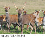 Купить «RF - Formosan sika deer (Cervus nippon taiouanus) males with group of females. Captive. (This image may be licensed either as rights managed or royalty free.)», фото № 33470343, снято 5 августа 2020 г. (c) Nature Picture Library / Фотобанк Лори