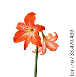 Red amaryllis flowers on a stem isolated on a white background. Стоковое фото, фотограф Евгений Харитонов / Фотобанк Лори