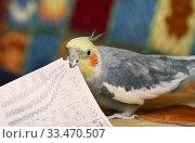 Попугай корелла откусывает кусочки от бумажки. Стоковое фото, фотограф Dmitry29 / Фотобанк Лори