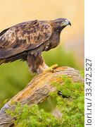 Golden Eagle, Aquila chrysaetos, Castilla y León, Spain, Europe. Стоковое фото, фотограф Alberto Carrera / age Fotostock / Фотобанк Лори