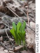 Купить «Молодые листья черемши в весеннем лесу», фото № 33474639, снято 29 марта 2020 г. (c) Александр Курлович / Фотобанк Лори