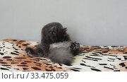 Купить «Темно серый пушистый кот смешно сидит на кровати, лижет и кусает свое пузо», видеоролик № 33475059, снято 30 марта 2020 г. (c) Иванов Алексей / Фотобанк Лори