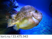 Купить «Пинагор, или рыба-воробей (Cyclopterus lumpus)», фото № 33475943, снято 19 марта 2020 г. (c) Татьяна Белова / Фотобанк Лори