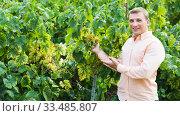 Vintner with clusters of grape. Стоковое фото, фотограф Яков Филимонов / Фотобанк Лори