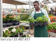 Купить «Farmer cultivating Begonia semperflorens in greenhouse», фото № 33487411, снято 22 мая 2019 г. (c) Яков Филимонов / Фотобанк Лори