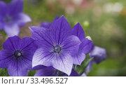 Купить «Close-up of purple Platycodon grandiflorus 'Fuji Blue'- Balloon Flowers in summer.», фото № 33496527, снято 26 июля 2015 г. (c) age Fotostock / Фотобанк Лори