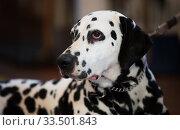 Купить «Portrait of thoroughbred Dalmatian dog», фото № 33501843, снято 16 июля 2017 г. (c) Татьяна Яцевич / Фотобанк Лори