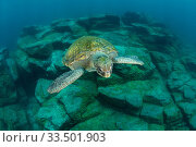 Купить «Green turtle (Chelonia mydas), South Tenerife, Canary Islands, Atlantic Ocean.», фото № 33501903, снято 31 мая 2020 г. (c) Nature Picture Library / Фотобанк Лори