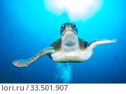 Купить «Green turtle (Chelonia mydas), South Tenerife, Canary Islands, Atlantic Ocean.», фото № 33501907, снято 30 мая 2020 г. (c) Nature Picture Library / Фотобанк Лори