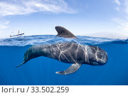 Short-finned pilot whale (Globicephala macrorhynchus) dorsal fin surfacing. South Tenerife, Canary Islands, Atlantic Ocean. Стоковое фото, фотограф Franco  Banfi / Nature Picture Library / Фотобанк Лори