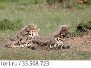 Купить «Cheetah (Acinonyx jubatus) female and cubs, five cubs suckling and playing around resting mother. Brood of seven cubs, a record for the area. Masai Mara National Reserve, Kenya.», фото № 33508723, снято 8 апреля 2020 г. (c) Nature Picture Library / Фотобанк Лори