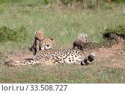 Купить «Cheetah (Acinonyx jubatus) cubs playing around resting mother. Brood of seven cubs, a record for the area. Masai Mara National Reserve, Kenya.», фото № 33508727, снято 8 апреля 2020 г. (c) Nature Picture Library / Фотобанк Лори