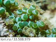 Green algae (Chlorophyta), close up. Derawan Islands, East Kalimantan, Indoneisa. Стоковое фото, фотограф Georgette Douwma / Nature Picture Library / Фотобанк Лори