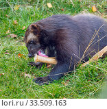 Купить «Wolverine (Gulo gulo) licking antler to keep its teeth healthy and for calcium and other nutrients. Captive.», фото № 33509163, снято 8 апреля 2020 г. (c) Nature Picture Library / Фотобанк Лори