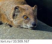 Купить «Yellow mongoose (Cynictis penicillata) sunbathing. Captive.», фото № 33509167, снято 8 апреля 2020 г. (c) Nature Picture Library / Фотобанк Лори