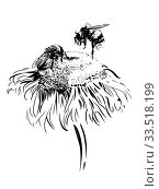 Купить «Два шмеля собирают нектар на цветке девясила. Черно-белая иллюстрация.», иллюстрация № 33518199 (c) М Б / Фотобанк Лори