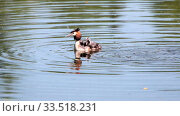 great crested grebe Podiceps cristatus great duck and duckling on the lake,Parents feed the Chicks who sit under the wing on mom's back. Стоковое видео, видеограф Куликов Константин / Фотобанк Лори