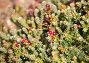 Купить «Порт Стэнли. Фолклендские острова. Великобритания. Горная ягода. ( Diddle Dee)», фото № 33518655, снято 24 февраля 2020 г. (c) Галина Савина / Фотобанк Лори