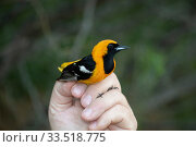 Купить «Hooded oriole (Icterus cucullatus) male in the hand, mist netted and banded by Texas Parks and Wildlife. Southmost Preserve, The Nature Conservancy reserve, Brownsville, Texas, USA. July 2019.», фото № 33518775, снято 3 июня 2020 г. (c) Nature Picture Library / Фотобанк Лори