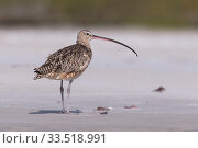 Купить «Long-billed curlew (Numenius americanus). Puerto San Carlos, Magdalena Bay, Baja California Sur, Mexico.», фото № 33518991, снято 31 мая 2020 г. (c) Nature Picture Library / Фотобанк Лори