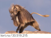 RF-Gelada baboon (Theropithecus gelada) dominant male running. Debre Libanos, Rift Valley, Ethiopia. 2017. (This image may be licensed either as rights managed or royalty free) Стоковое фото, фотограф Sylvain Cordier / Nature Picture Library / Фотобанк Лори