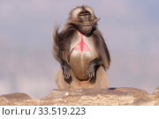 Gelada baboon (Theropithecus gelada), dominant male sitting on rock. Debre Libanos, Rift Valley, Ethiopia. Стоковое фото, фотограф Sylvain Cordier / Nature Picture Library / Фотобанк Лори