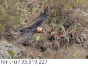 Bearded vulture (Gypaetus barbatus) in flight. Debre Libanos, Rift... Стоковое фото, фотограф Sylvain Cordier / Nature Picture Library / Фотобанк Лори